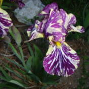 Location: Pleasant Grove, UtahDate: 2011-05-25Specie X Bearded Iris 'Beta Gnu'