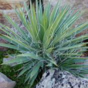 Location: Pleasant Grove, UtahDate: 2011-10-26A young plant.
