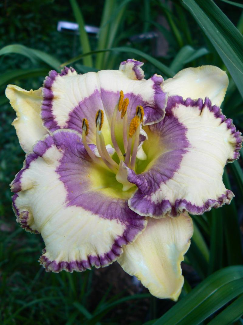 Photo of Daylily (Hemerocallis 'Bluegrass Music') uploaded by annred97