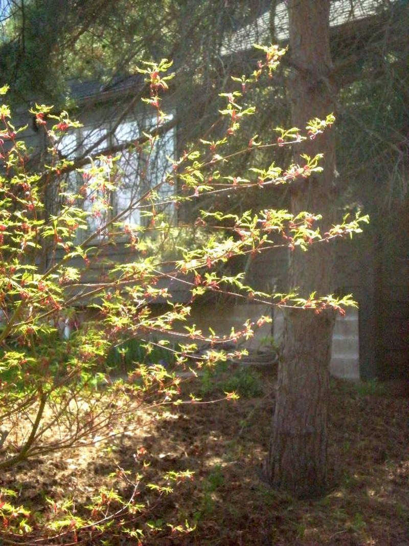 Photo of Cutleaf Japanese Maple (Acer palmatum 'Seiryu') uploaded by ge1836