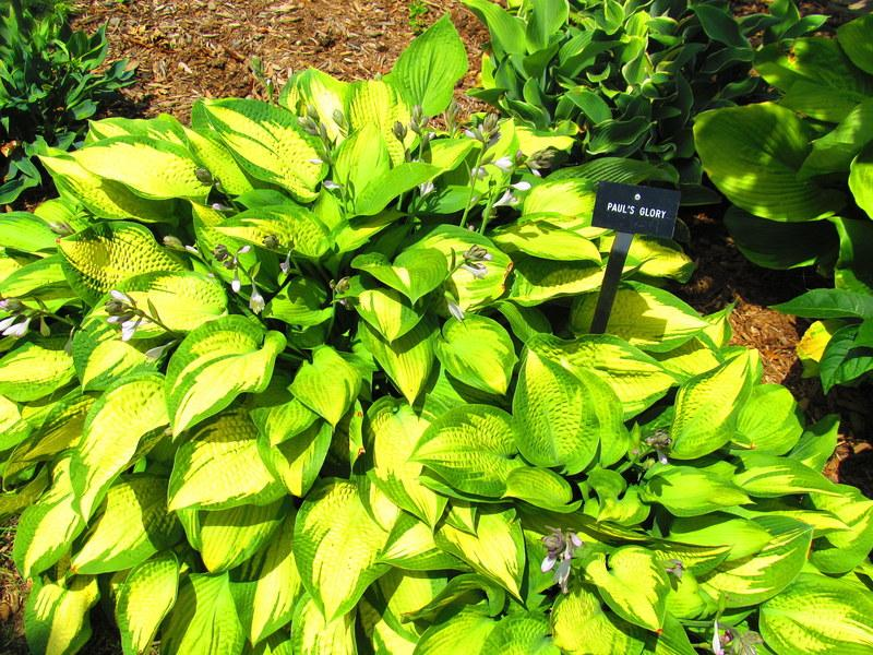 Photo of Hosta 'Paul's Glory' uploaded by jmorth