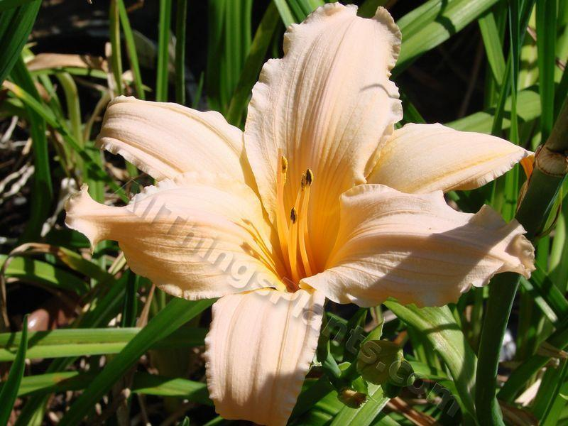 Photo of Daylily (Hemerocallis 'Pink Taffy') uploaded by Joy