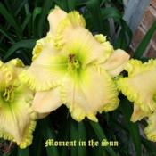 "Location: Fort Worth TxDate: 2010-06-08Daylily (Hemerocallis ""Moment in the Sun\"")"
