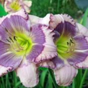 "Location: Fort Worth TxDate: 2011-05-31Daylily (Hemerocallis ""Blue Beat\"")"