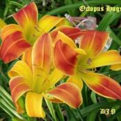 "Location: Fort Worth TXDate: 2010-05-28Daylily (Hemerocallis (""Octopus Hugs\"")"
