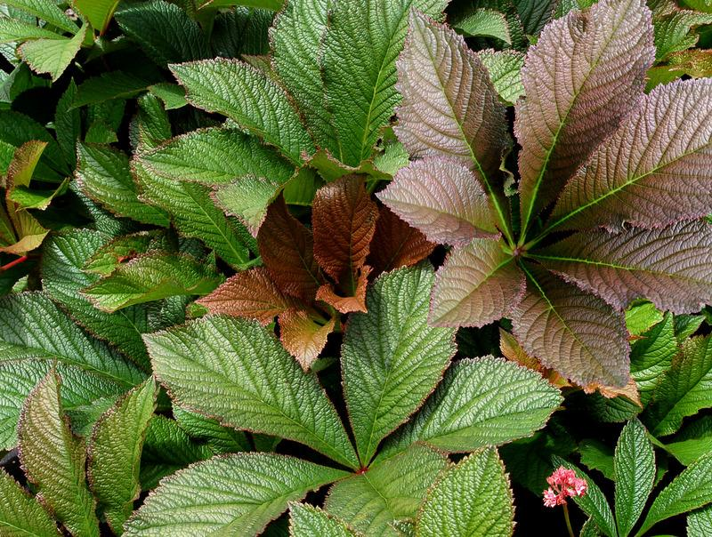 Photo of Rodgersia 'Bronze Peacock' uploaded by NJBob