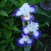Location: Pleasant Grove, UtahDate: 2011-06-07Border Bearded Iris 'Niche'.....popular!