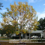 Location: zone 8/9 Lake City, Fl.Date: 2011-11-162 weeks later the tree is almost bare