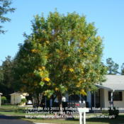 Location: zone 8/9 Lake City, Fl.Date: 2011-10-30Beginning to turn yellow for fall
