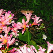 Location: central IllinoisDate: 2011-08-07note the Hummingbird Moth