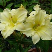 Location: Kalama, WaDate: 2009-07-13Unknown, but absolutely loved this daylily. Sorry to say I lost i