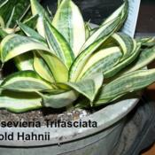 Location: Pittsburgh, Pa. Date: Nov. 19, 2011Sansevieria tri~Golden Hahnii