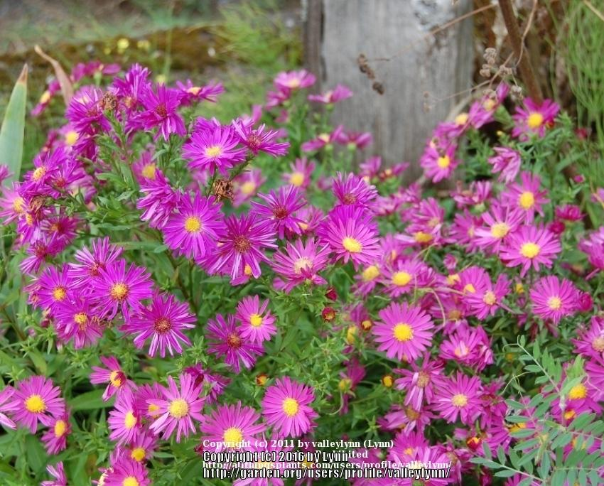 Photo of Asters (Aster) uploaded by valleylynn