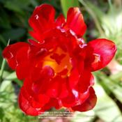 Location: Pacific Northwest zone 8Date: May 17, 2011 Peony flowering tulip