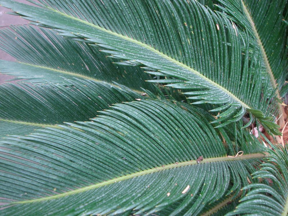 Photo of Sago Palm (Cycas revoluta) uploaded by Paul2032