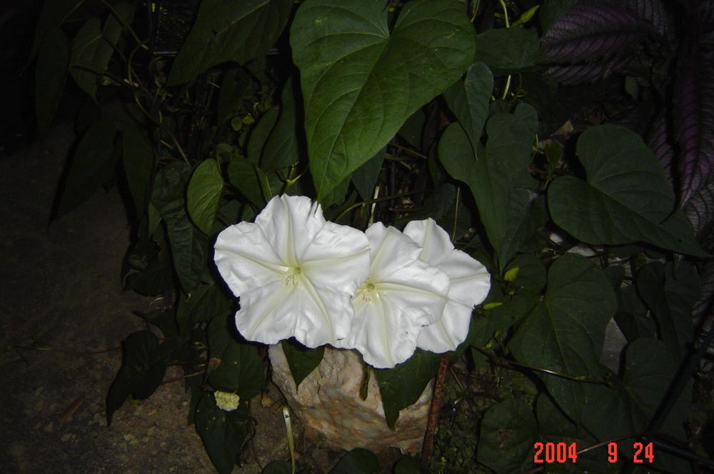Photo of Moonflower (Ipomoea alba) uploaded by jmorth