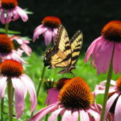 Location: central IllinoisDate: 2008-07-12Butterflies adore