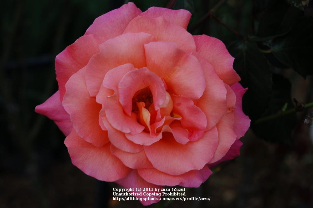 Photo of Rose (Rosa 'Freisinger Morgenrote') uploaded by zuzu