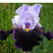 Photo courtesy of Sutton's Iris Gardens