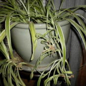 Location: HomeDate: 2011-11-22Stolons forming new plants with roots and shoots