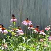 Location: central IllinoisDate: summerRed Admiral Convention