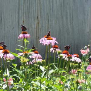 Red Admiral Convention