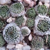 Location: Denver, CO (full sun hypertufa pot)Date: 20011-11-22No ID from Timberline Gardens