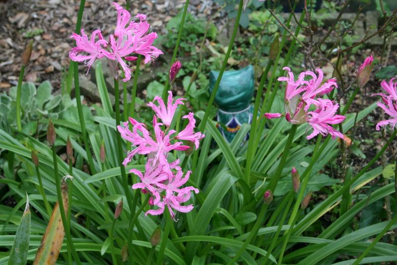 Photo of Guernsey Lily (Nerine bowdenii) uploaded by Calif_Sue