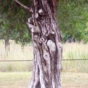 Location: Land Between the Lakes, western KentuckyDate: Summer 2008An old gnarled cedar trunk