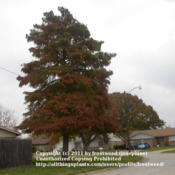 Location: Arlington, Texas.Date: Fall 2009Bald Cypress in my neighborhood.
