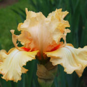 Location: Vacaville, CADate: 2010-04-28Photo courtesy of Pleasants Valley Iris Farm, www.irisf