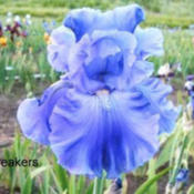 Location: Vacaville, CADate: 2011-03-15Photo courtesy of Pleasants Valley Iris Farm, www.irisf