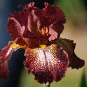 Location: Vacaville, CADate: 2011-05-04Photo courtesy of Pleasants Valley Iris Farm, www.irisf