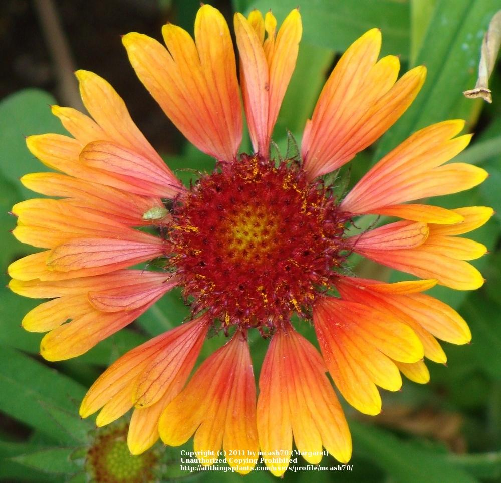 Blanket Flowers: Plant Care and Collection of Varieties - Garden.org