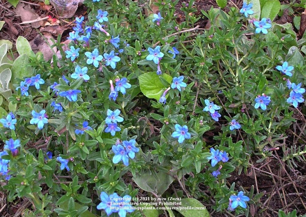 Photo of Lithodora (Glandora prostrata 'Grace Ward') uploaded by zuzu