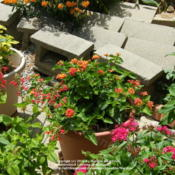 Location: My garden in KentuckyDate: 2010-06-07