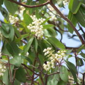 Location: Bandera Co., TexasDate: May 2009Texas Madrone blooms