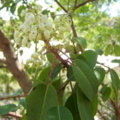 Location: Bandera Co., TexasDate: April 2009Texas Madrone blooms