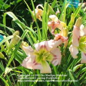 Location: Valley of the Daylilies in Lebanon, OH. Home of Dan and Jackie BachmanDate: 2005-07-07