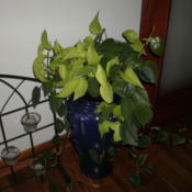 Location: HomeDate: 2011-07-02'Lemon Lime' is the light colored plant