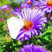 Location: central IllinoisDate: 2011-09-07Butterflies adore NE Aters in the fall.