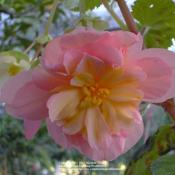 Location: In my Northern California gardenDate: 2006-10-22Unidentified Begonia