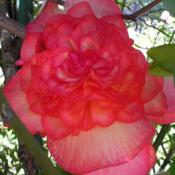 Location: In my Northern California gardenDate: 2008-08-16Unidentified Begonia