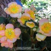 Location: In my Northern California gardenDate: 2009-08-01Unidentified Begonia