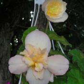Location: In my Northern California gardenDate: 2006-08-18Unidentified Begonia