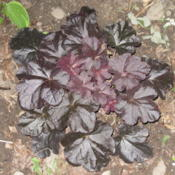 Location: North Eastern PennsylvaniaDate: 2011-07-04Plant has nice glossy leaves and is great for setting off other h