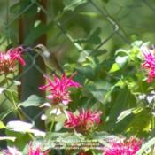 Date: 2008-06-22Hummingbirds love the Monarda blooms