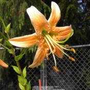 Location: Willamette Valley OregonDate: August 2009An aurelian seedling from Mak.