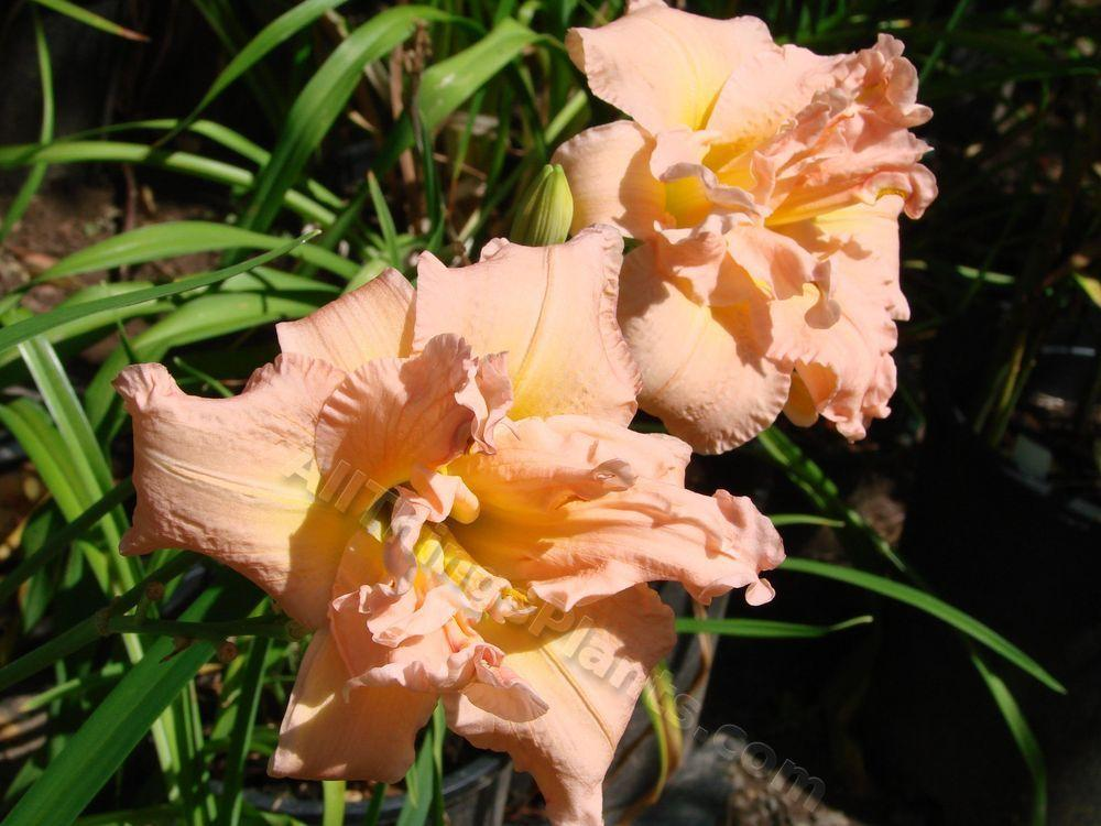 Photo of Daylily (Hemerocallis 'Dublin Elaine') uploaded by Joy