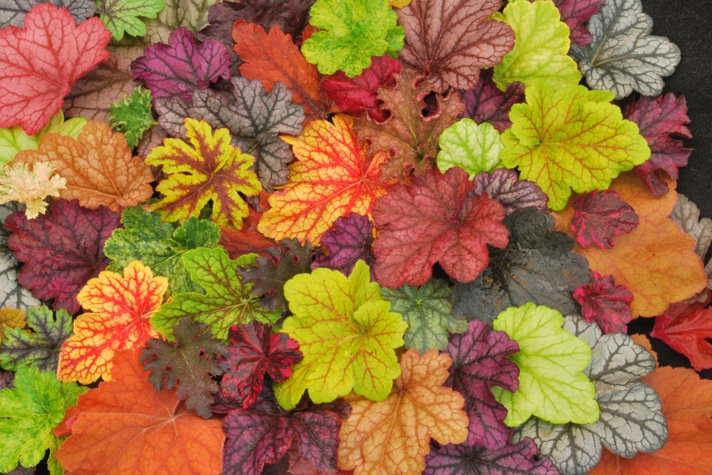 Coral Bells: Plant Care and Collection of Varieties ...